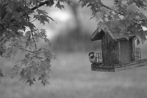 House Sparrow on the Feeder