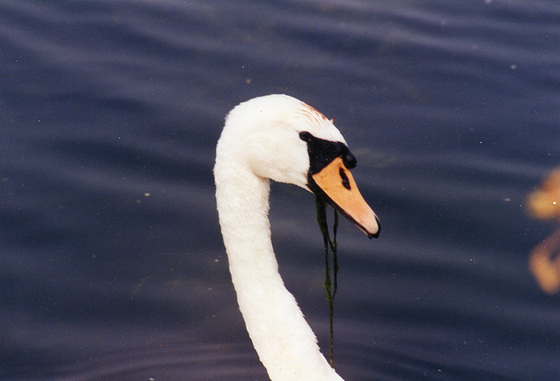 This swan has a lovely curved neck
