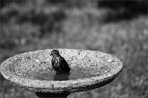 Baby Starling Discovers the Birdbath