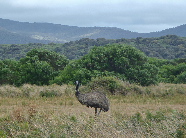 emu at the airstrip
