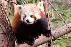Red Panda  (Ailurus fulgens) Explore 442