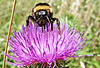 Thistle with bumble bee
