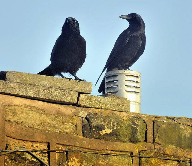 Carrion crows (Corvus corone)