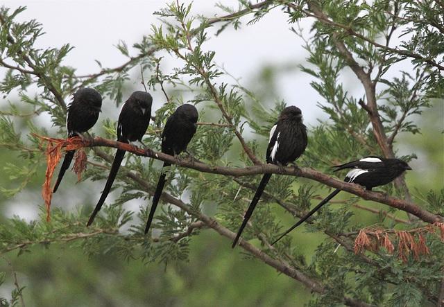 Corvinelle noir et blanc (Urolestes melanoleucus)