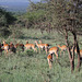 Troupeau d'impalas