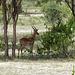 Impala mâle