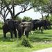 Eléphants africains