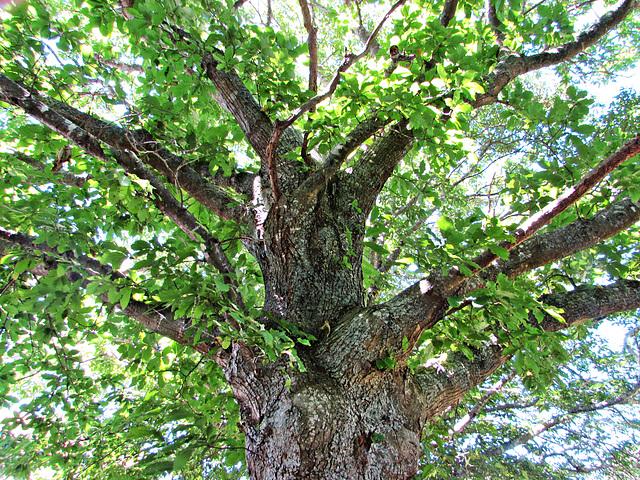 Spreading oak tree