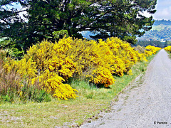 Beautiful roadside broom