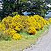Beautiful roadside broom