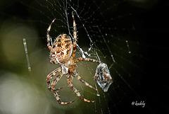 IMG 0361 Araignée   (Araneus diadematus) BLOG