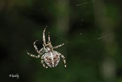 IMG 0373 Araignée   (Araneus diadematus) BLOG