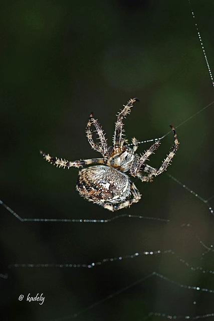 IMG 0375 Araignée   (Araneus diadematus) BLOG