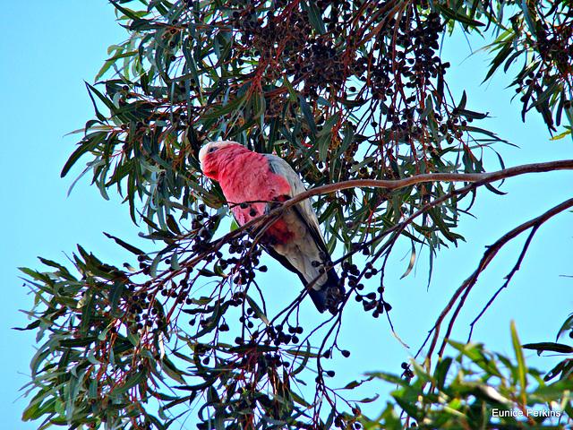 Galah in a gum tree