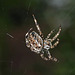 IMG 0377 Araignée   (Araneus diadematus) BLOG