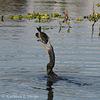 Anhinga with Sunfish 012114-01