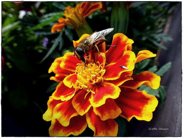Tagetes mit Biene und Fliege