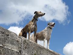 Irish boating dogs