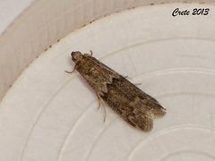 C012 Ectomyelois ceratoniae (Locust Bean Moth)