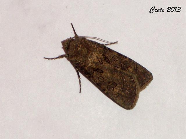 C031 Agrotis segetum (Turnip Moth)