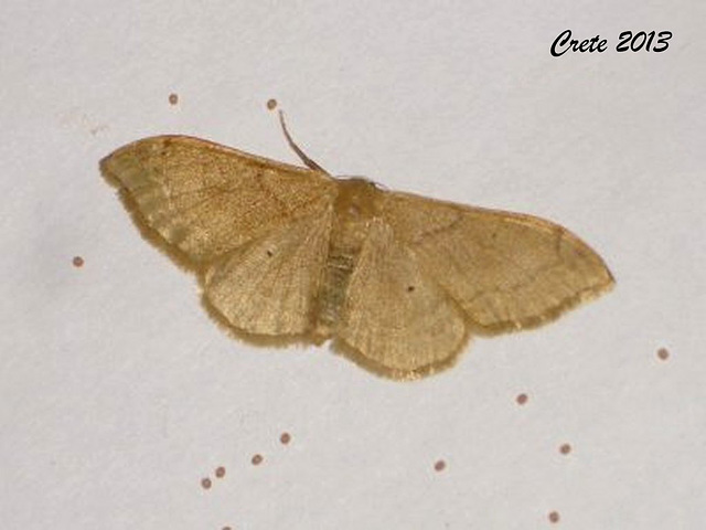 C040 Idaea rubraria (Least Riband Wave)