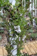 Le parfum du chaos magnifique - Jardin 8 -Solanum jasminoïdes