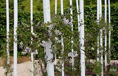 Le parfum du chaos magnifique - Jardin 8- Solanum jasminoïdes