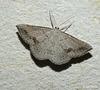 Taxeotis didymosticha