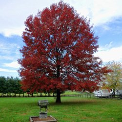 Pin Oak in Autumn