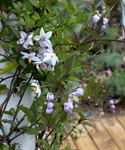Le parfum du chaos magnifique - Solanum jasminoïdes