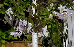 Le parfum du chaos magnifique - Solanum jasminoïdes (2)