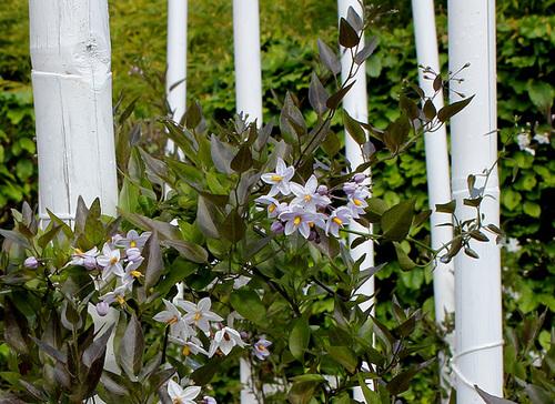 Le parfum du chaos magnifique - Solanum jasminoïdes (3)