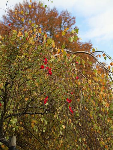 Roses en automne