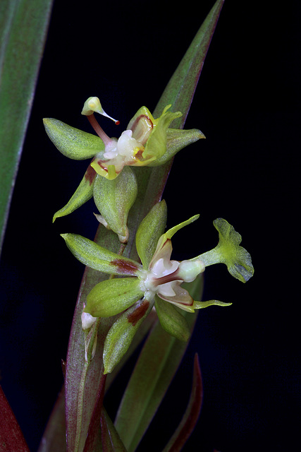 Sigmatostalix uncinata
