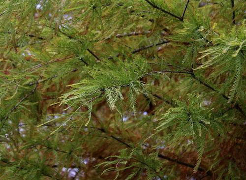 Taxodium distichum (3)