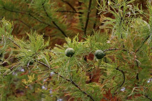 Taxodium distichum (4)