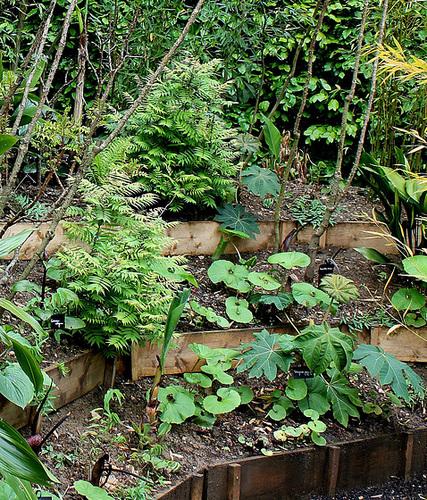 Derrière l'armoire - Jardin 12 - Sorbaria - Petasites- Tetrapanax