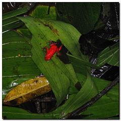 Erdbeerfrosch | Roter Pfeilgiftfrosch
