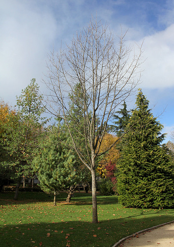 Jeune Quercus rubra