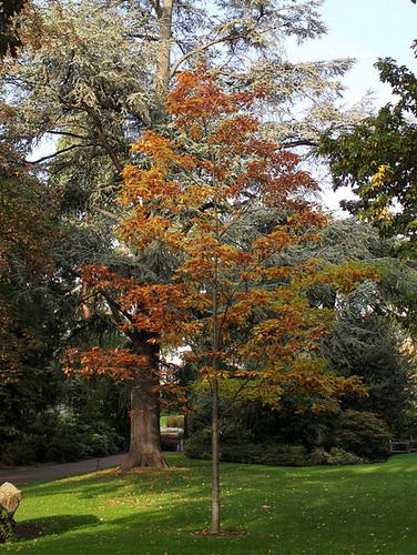 Quercus rubra (3)