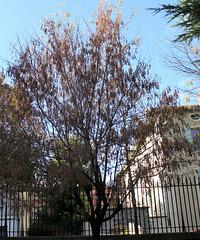 Acer negundo en fruits