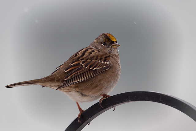 Lovely Golden-Crowned Sparrow