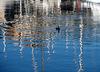 un cormorano al porto di Savona