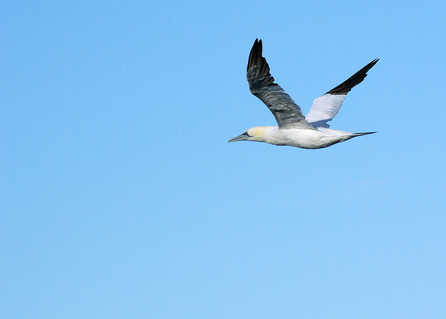 Gannet Fly Past - 2010