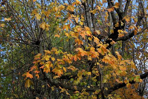 Acer platanoïdes (2)