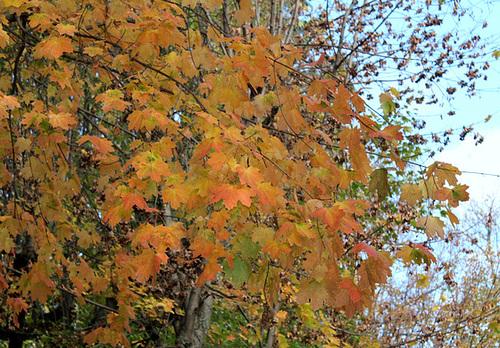 Acer platanoïdes (3)