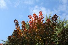 Cotinus en automne