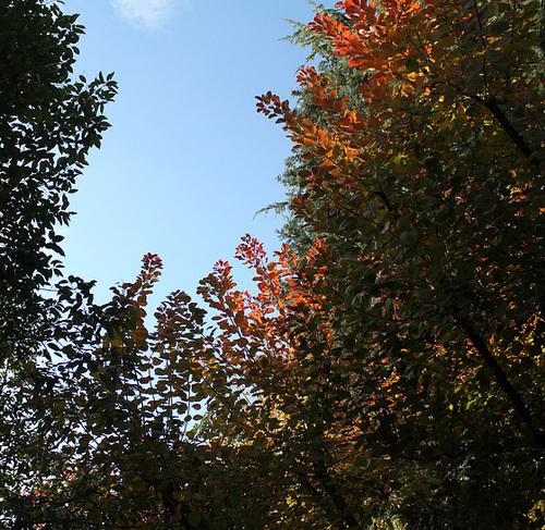 Cotinus en automne-001