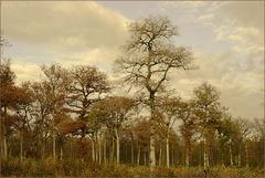 Bois de Sainte Isabelle