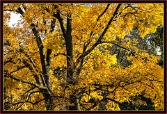 Poetry in Yellow & Gold